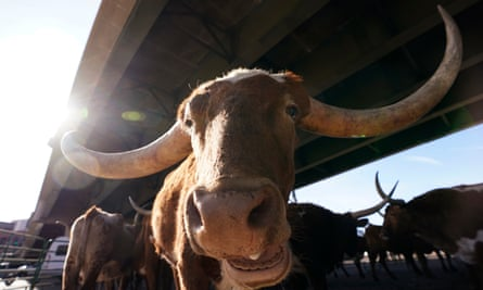 A Texas Longhorn steer in Denver, Colorado.
