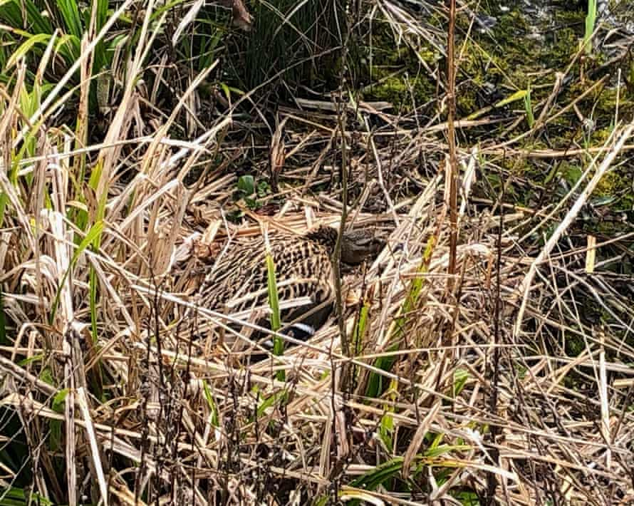 A female mallard on her nest, camouflaged in the reeds