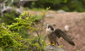 A peregrine falcon in the Bay of Fundy, Canada. With its rebounding population, the bird is one of Canada's success stories.
