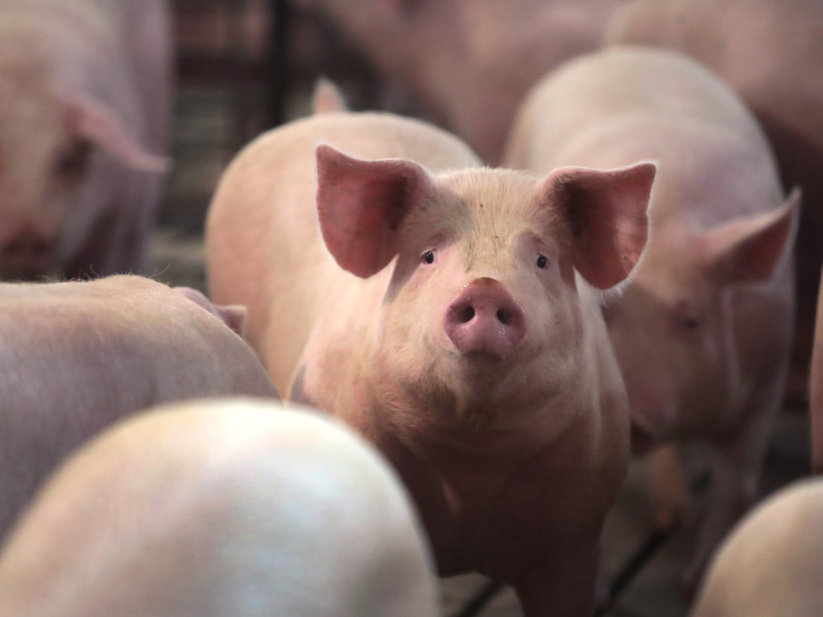 Millions of US farm animals to be culled by suffocation, drowning ...