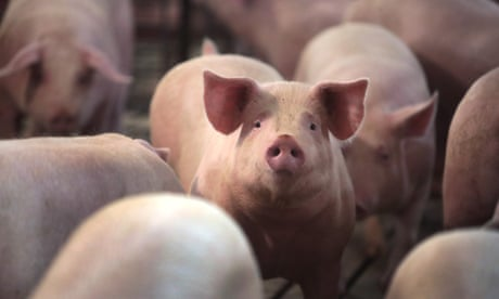 Millions of US farm animals to be culled by suffocation, drowning and shooting