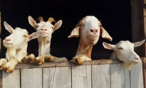 'If you eat goat's cheese or drink goat's milk, you should consider eating goat meat as well.'