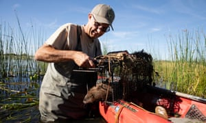 Greg Gerstenberg sets free a muskrat from a nutria trap in the Grassland ecological area, Merced County, California.