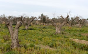 Olive trees infected by the bacteria near Lecce in Puglia, Italy.