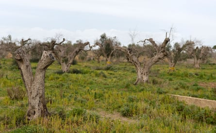 Olive trees in Italy infected by the xylella fastidiosa bacterium