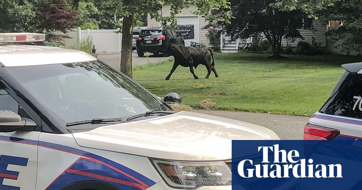 Bull on the run: 'Barney' eludes capture days after Long Island farm escape