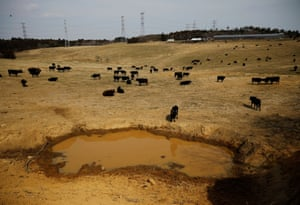 Bullocks stand on a field at the Ranch of Hope, a cattle farm owned by Masami Yoshizawa, who defied an order to cull his irradiated livestock in protest against the government and Tokyo Electric Power