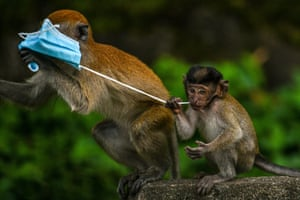 Macaque monkeys play with a face mask