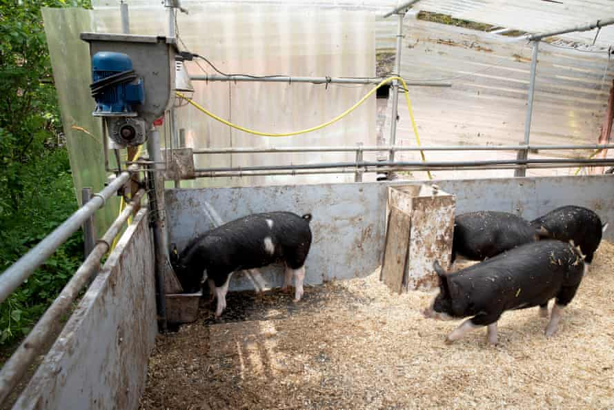 Pigs eat treats they receive after using a toilet. The pigs are encouraged to urinate on the dark patch in the left-hand corner of the pen, where one of them is standing.