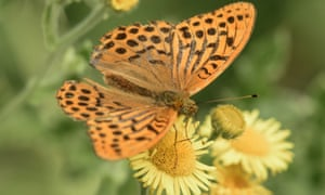 Silver washed fritillary taken in Whiteley pastures, Hampshire.