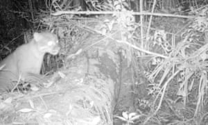 An Asian golden cat caught on camera trap. This species is considered near threatened.