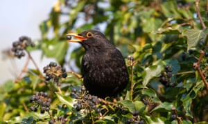 'The sweetest high and overlaying sound' of a blackbird from McAuliffe's poem of the same name.