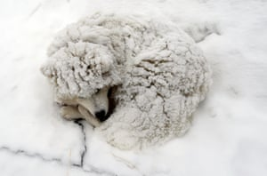 A dog is covered in snow.