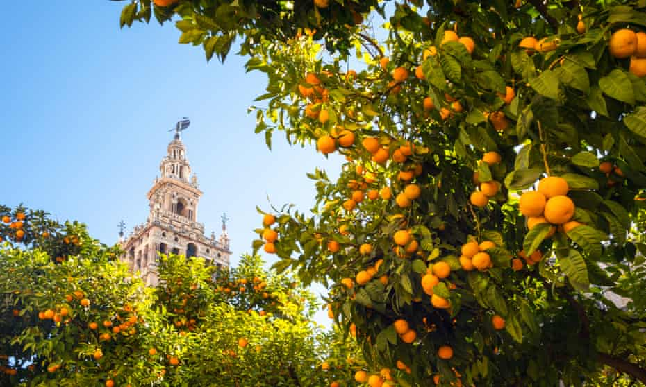 The cathedral bell tower in Seville, with orange trees in foreground