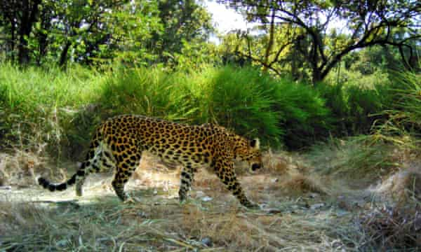 A spotted leopard in Cambodia. Only 44-132 leopards are believed to survive in the country.