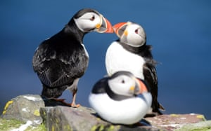 Puffins on the Farne Islands off the UK's Northumberland coast