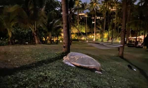 Green turtles near the Banyan Tree resort