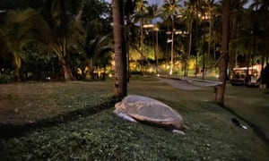 Green turtles near the Banyan Tree resort