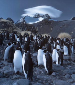 Four species of penguin nest on the island, including King Penguins with around 450,000 breeding pairs