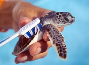 Baby green sea turtle Irma (named after the hurricane that displaced her) is cleaned with a toothbrush at the Florida Keys turtle hospital