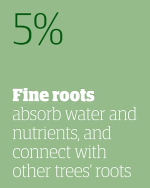 5% - fine roots absorb water and nutrients, and connect with other trees' roots