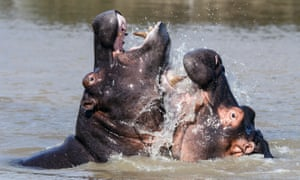 Playful young hippos show their teeth as they splash around in the water.