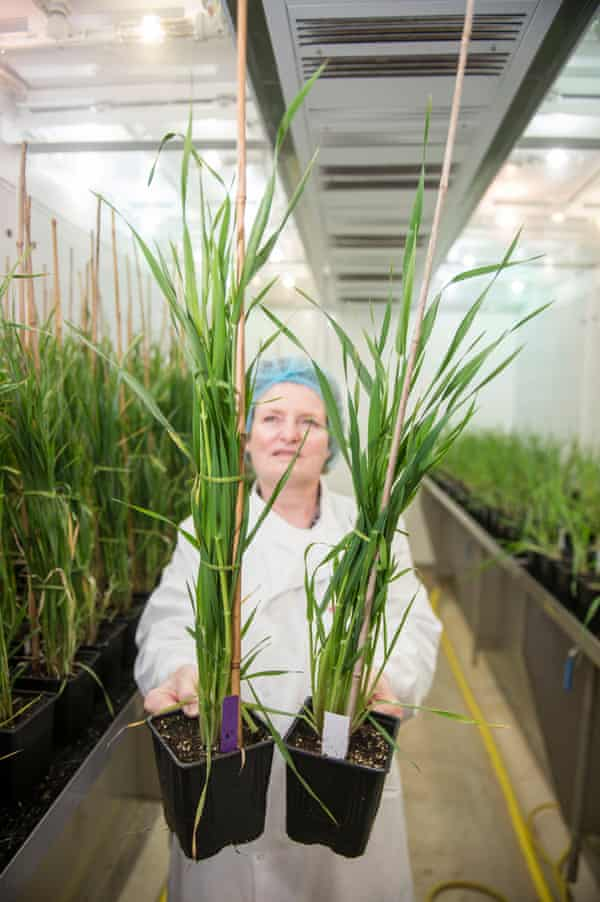 Prof Wendy Harwood at the John Innes Centre with a gene-edited barley plant, on left, and a conventional plant.