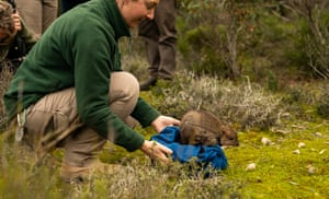 One of Australia's rarest marsupials, the brush-tailed bettong, has been reintroduced to mainland South Australia after being locally extinct for more than a century. Forty of the endangered animals were released at two sites in Dhilba Guuranda-Innes National Park on Yorke Peninsula this week