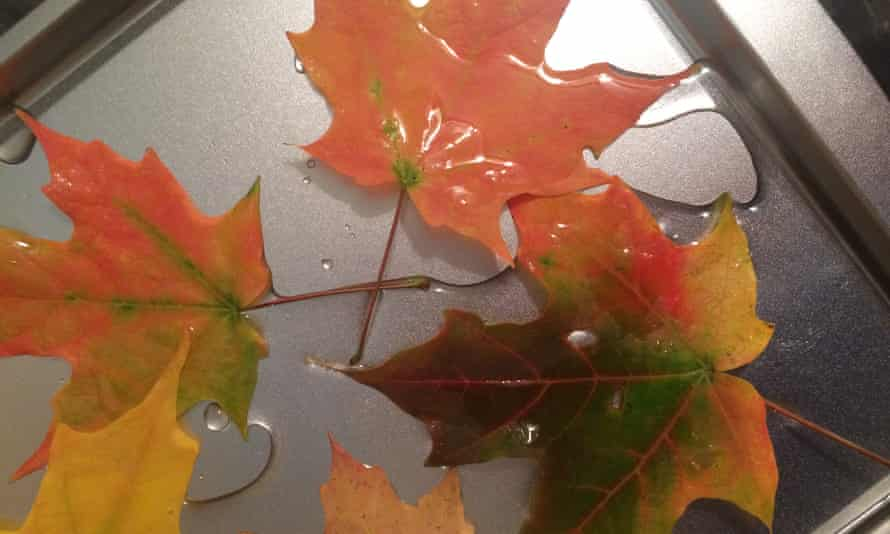 Autumn leaves soaking in glycerin and water