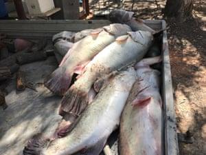 Fish kill at Menindee on the Darling River.