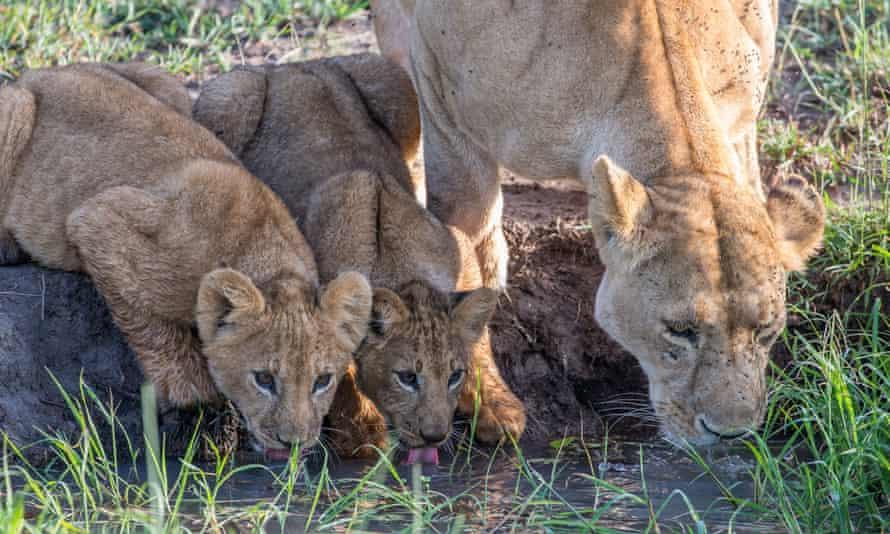 Lions in the Masai Mara, Kenya.