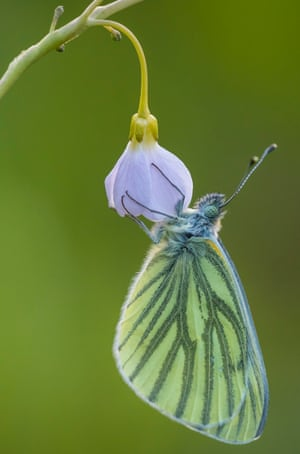 A green-veined white butterfly hangs from a cuckoo flower.