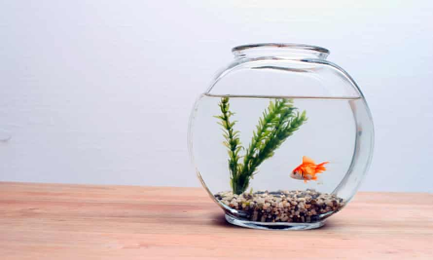 Goldfish in fisbbowlGettyImages-80122512