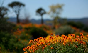 Wild flowers in the fynbos, north of Cape Town.