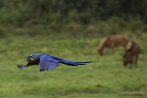 A macaw flies low over a ranch in Corumbá, in the Pantanal wetlands of Mato Grosso do Sul state, Brazil