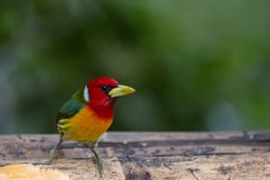 A red-headed barbet