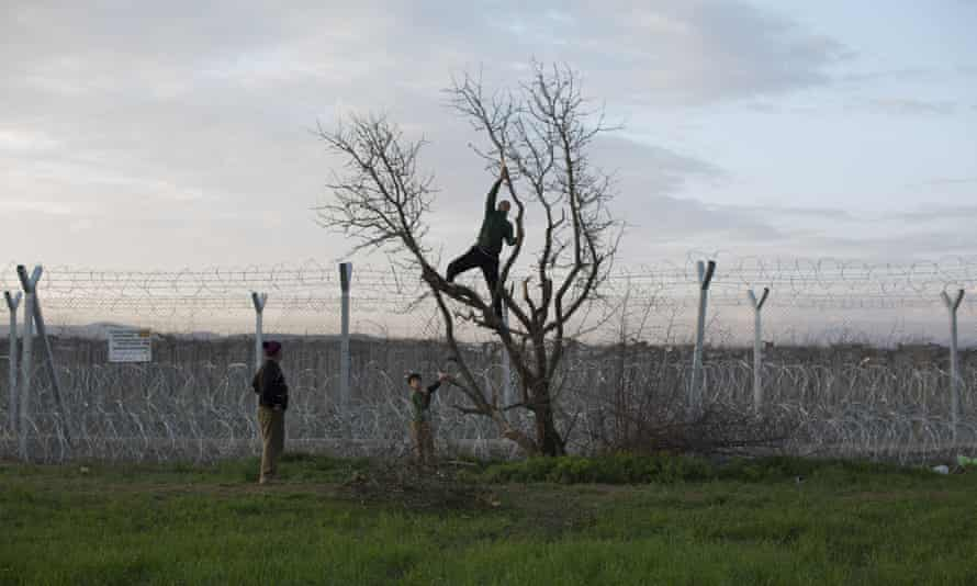 A man climbs a tree to collect firewood next to the wire fence at the Greek-Macedonia border in Idomeni.