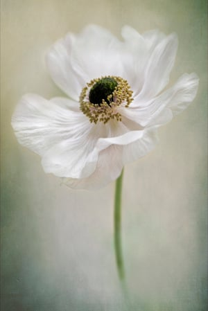 Anemone de Caen by Jacky Parker, Buckinghamshire, United Kingdom
