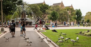 Many people and ibises share a park in Sydney in apparent harmony