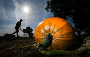 Yorkshire, UK: Farmer Tom Hoggard harvests pumpkins at Howe Bridge farm