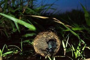A dung beetle pushing a ball at night.