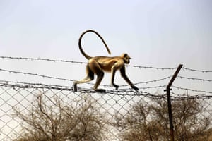 A gray langur walks on a fence with barbed wire in Pushkar, Rajasthan, India.