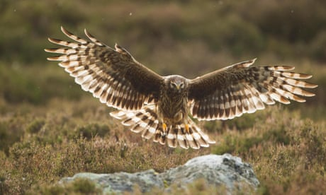 Granting this licence to shoot buzzards will unleash a killing spree  4896