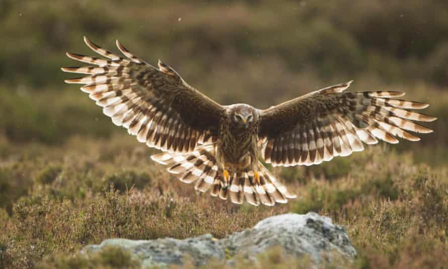 Hen harriers in Scotland.