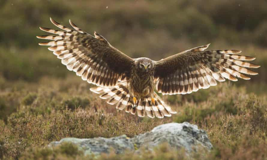 The hen harrier action plan officially acknowledges that the bird of prey is on the brink of extinction in England.