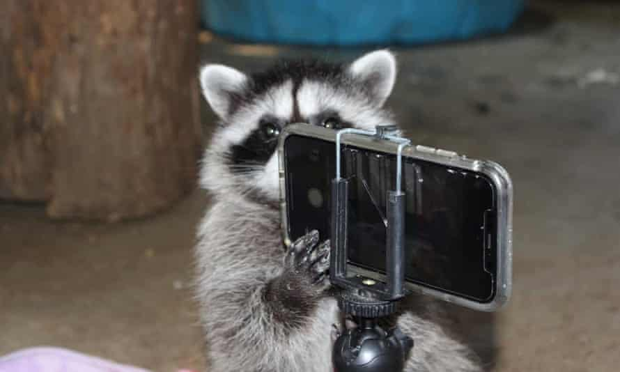 A raccoon holds a phone on a small tripod