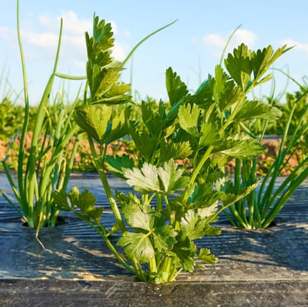 Close up picture of celery on organic vegetable farm patch covered with plastic mulch