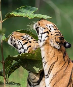 Tigers at Tadoba Andhari Tiger Reserve, India.