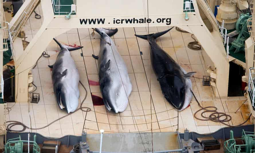Three minke whales on the deck of a whaling ship for research in the Antarctic Ocean.