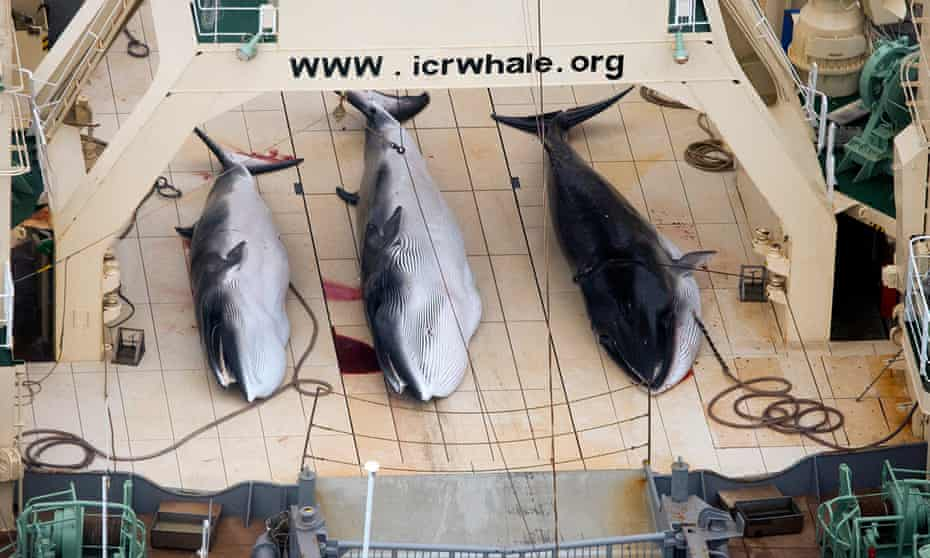 A handout image by Sea Shepherd Australia made available on 07 January 2013 shows three dead protected Minke Whales on the deck of the Japanese Ship, Nisshin Maru in the Southern Ocean, Antarctica, 05 January 2013.